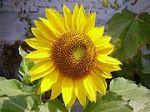 180px-W&Asunflower (1)